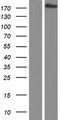 PCF11 Protein - Western validation with an anti-DDK antibody * L: Control HEK293 lysate R: Over-expression lysate