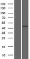 PCID2 Protein - Western validation with an anti-DDK antibody * L: Control HEK293 lysate R: Over-expression lysate