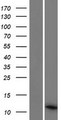 PCOTH Protein - Western validation with an anti-DDK antibody * L: Control HEK293 lysate R: Over-expression lysate