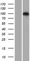PDE6C Protein - Western validation with an anti-DDK antibody * L: Control HEK293 lysate R: Over-expression lysate