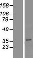 PGAP3 / PERLD1 Protein - Western validation with an anti-DDK antibody * L: Control HEK293 lysate R: Over-expression lysate