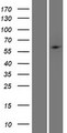 PHF1 Protein - Western validation with an anti-DDK antibody * L: Control HEK293 lysate R: Over-expression lysate