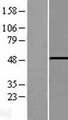 PHF10 Protein - Western validation with an anti-DDK antibody * L: Control HEK293 lysate R: Over-expression lysate