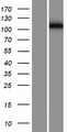 PHF12 Protein - Western validation with an anti-DDK antibody * L: Control HEK293 lysate R: Over-expression lysate