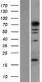 PHF14 Protein - Western validation with an anti-DDK antibody * L: Control HEK293 lysate R: Over-expression lysate