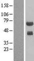 PHF23 Protein - Western validation with an anti-DDK antibody * L: Control HEK293 lysate R: Over-expression lysate
