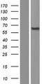 PIGT Protein - Western validation with an anti-DDK antibody * L: Control HEK293 lysate R: Over-expression lysate
