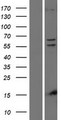 PINK1 Protein - Western validation with an anti-DDK antibody * L: Control HEK293 lysate R: Over-expression lysate