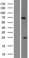 PIP5K1A Protein - Western validation with an anti-DDK antibody * L: Control HEK293 lysate R: Over-expression lysate