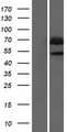 PIP5K1B Protein - Western validation with an anti-DDK antibody * L: Control HEK293 lysate R: Over-expression lysate