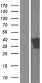 PITPNC1 Protein - Western validation with an anti-DDK antibody * L: Control HEK293 lysate R: Over-expression lysate