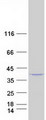 PLCXD1 Protein - Purified recombinant protein PLCXD1 was analyzed by SDS-PAGE gel and Coomassie Blue Staining