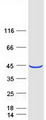 PLEK2 Protein - Purified recombinant protein PLEK2 was analyzed by SDS-PAGE gel and Coomassie Blue Staining