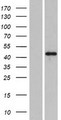 PLEKHA2 Protein - Western validation with an anti-DDK antibody * L: Control HEK293 lysate R: Over-expression lysate