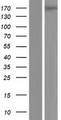 PLEKHH2 Protein - Western validation with an anti-DDK antibody * L: Control HEK293 lysate R: Over-expression lysate