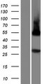 PLSCR5 Protein - Western validation with an anti-DDK antibody * L: Control HEK293 lysate R: Over-expression lysate