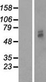PMPCB / MPP11 Protein - Western validation with an anti-DDK antibody * L: Control HEK293 lysate R: Over-expression lysate