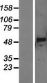 PNLIPRP3 Protein - Western validation with an anti-DDK antibody * L: Control HEK293 lysate R: Over-expression lysate