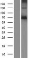 PODN Protein - Western validation with an anti-DDK antibody * L: Control HEK293 lysate R: Over-expression lysate