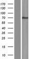 POF1B Protein - Western validation with an anti-DDK antibody * L: Control HEK293 lysate R: Over-expression lysate