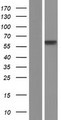 POLL / DNA Polymerase Lambda Protein - Western validation with an anti-DDK antibody * L: Control HEK293 lysate R: Over-expression lysate