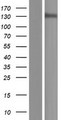 POLR3B Protein - Western validation with an anti-DDK antibody * L: Control HEK293 lysate R: Over-expression lysate
