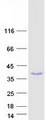 POLR3H Protein - Purified recombinant protein POLR3H was analyzed by SDS-PAGE gel and Coomassie Blue Staining