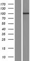 POM121C Protein - Western validation with an anti-DDK antibody * L: Control HEK293 lysate R: Over-expression lysate