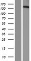 PPFIA3 Protein - Western validation with an anti-DDK antibody * L: Control HEK293 lysate R: Over-expression lysate