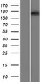 PPP1R13B Protein - Western validation with an anti-DDK antibody * L: Control HEK293 lysate R: Over-expression lysate