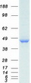 PPP1R7 Protein - Purified recombinant protein PPP1R7 was analyzed by SDS-PAGE gel and Coomassie Blue Staining