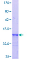 PQBP1 Protein - 12.5% SDS-PAGE Stained with Coomassie Blue.