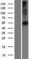 PRAMEF22 Protein - Western validation with an anti-DDK antibody * L: Control HEK293 lysate R: Over-expression lysate