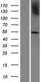 PRAMEF7 Protein - Western validation with an anti-DDK antibody * L: Control HEK293 lysate R: Over-expression lysate