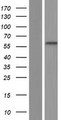 PRDM7 Protein - Western validation with an anti-DDK antibody * L: Control HEK293 lysate R: Over-expression lysate