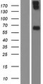 PRF1 / Perforin Protein - Western validation with an anti-DDK antibody * L: Control HEK293 lysate R: Over-expression lysate