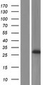 PRG3 Protein - Western validation with an anti-DDK antibody * L: Control HEK293 lysate R: Over-expression lysate