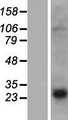 PRH2 Protein - Western validation with an anti-DDK antibody * L: Control HEK293 lysate R: Over-expression lysate