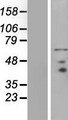 PRICKLE3 / LMO6 Protein - Western validation with an anti-DDK antibody * L: Control HEK293 lysate R: Over-expression lysate