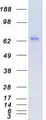 PRKCE / PKC-Epsilon Protein - Purified recombinant protein PRKCE was analyzed by SDS-PAGE gel and Coomassie Blue Staining