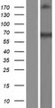 PRMT3 Protein - Western validation with an anti-DDK antibody * L: Control HEK293 lysate R: Over-expression lysate