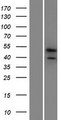 PRR19 Protein - Western validation with an anti-DDK antibody * L: Control HEK293 lysate R: Over-expression lysate