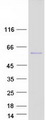 PRR22 Protein - Purified recombinant protein PRR22 was analyzed by SDS-PAGE gel and Coomassie Blue Staining