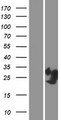 PRR4 / Proline Rich 4 Protein - Western validation with an anti-DDK antibody * L: Control HEK293 lysate R: Over-expression lysate