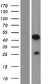 PRR5 Protein - Western validation with an anti-DDK antibody * L: Control HEK293 lysate R: Over-expression lysate