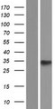 PRR7 Protein - Western validation with an anti-DDK antibody * L: Control HEK293 lysate R: Over-expression lysate