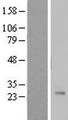 PSG11 Protein - Western validation with an anti-DDK antibody * L: Control HEK293 lysate R: Over-expression lysate
