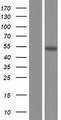 PSMD12 / Rpn5 Protein - Western validation with an anti-DDK antibody * L: Control HEK293 lysate R: Over-expression lysate