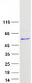PUS3 Protein - Purified recombinant protein PUS3 was analyzed by SDS-PAGE gel and Coomassie Blue Staining