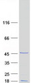 Purified recombinant protein PXMP2 was analyzed by SDS-PAGE gel and Coomassie Blue Staining